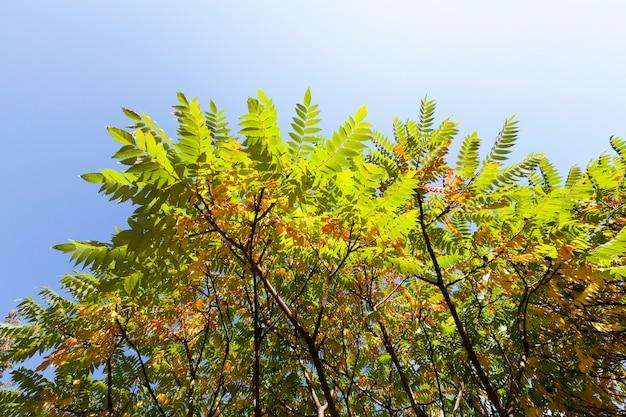 Ein baum mit wechselndem laub in der herbstsaison, eine pflanze gegen den blauen himmel, die spitze eines baumes