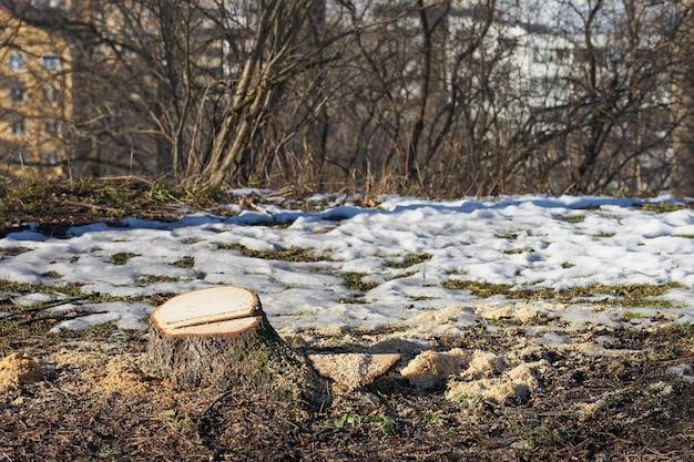 Ein baumstumpf von einem abgesägten baum in einem frühlingspark.