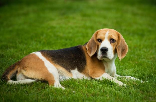 Ein beagle-hund, der auf einem grünen gras liegt.