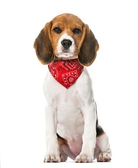 Ein beagle-welpe mit einem sitzenden schal, lokalisiert auf weiß