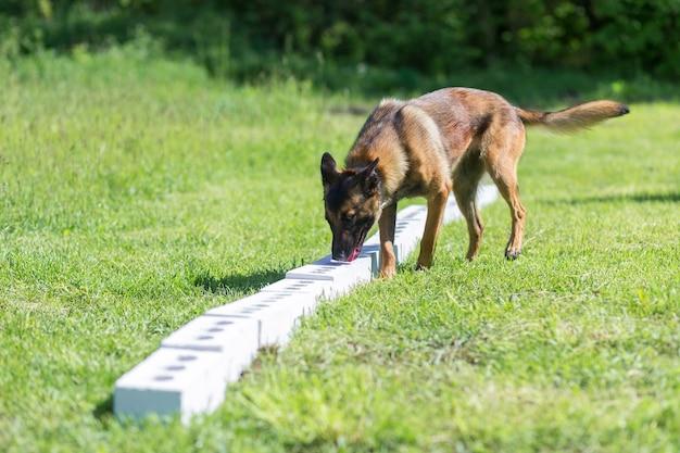 Ein bengalischer schäferhund schnüffelt an einer ziegelreihe auf der suche nach einem mit einem versteckten gegenstand. schulung zur ausbildung von diensthunden für polizei, zoll oder grenzdienst.