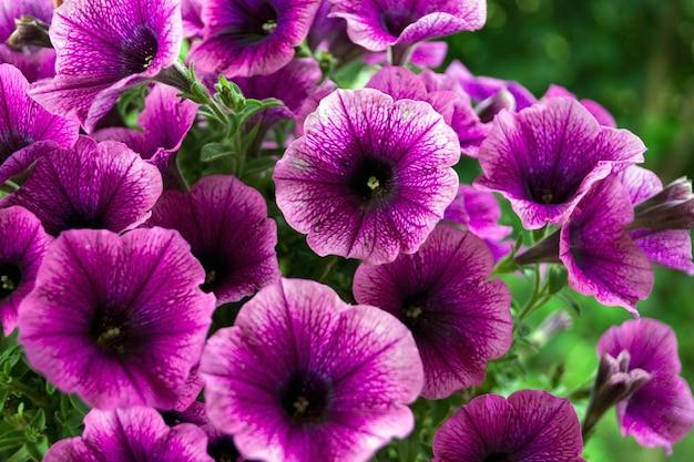 Ein bett aus violetten petunien (petunia grandiflora).