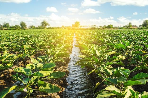 Ein bewässerungswasserkanal führt durch die auberginenplantage