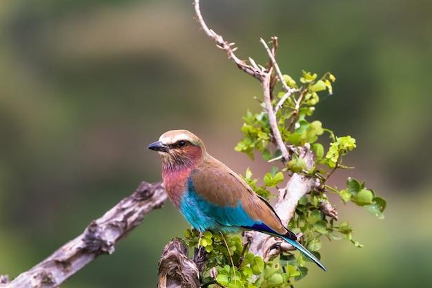 Ein blauer vogel auf einem trockenen baum. tarangire, tansanya