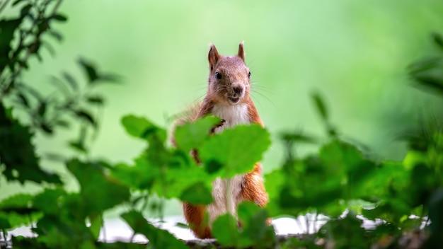 Ein bleibendes eichhörnchen mit orangefarbenem fell, das irgendwo hinschaut