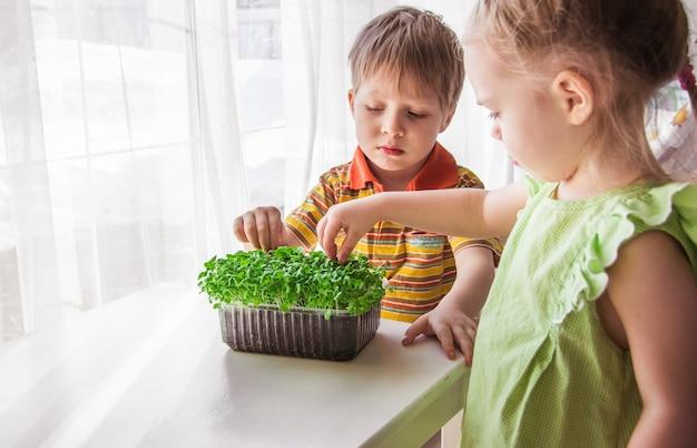 Ein blonder kleiner junge und ein mädchen beobachten das wachstum von microgreens. kleiner gärtner, garten- und pflanzkonzept