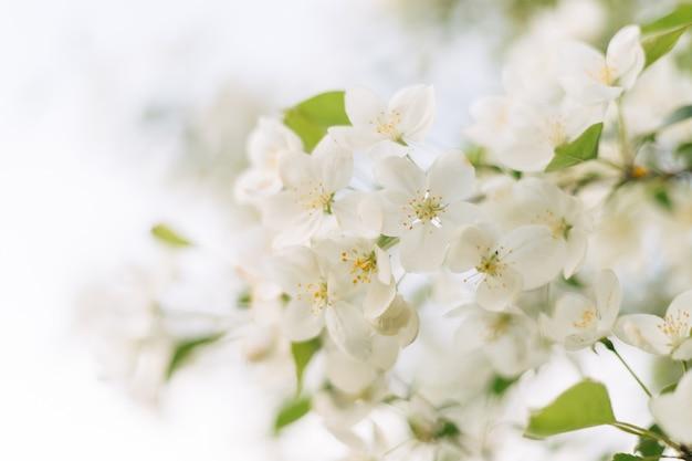 Ein blühender apfelbaum mit schönen empfindlichen weißen blumen gegen einen hellen himmel.