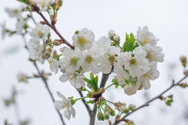 Ein blühender kirschzweig gegen den blauen himmel. frühlingsblüte.