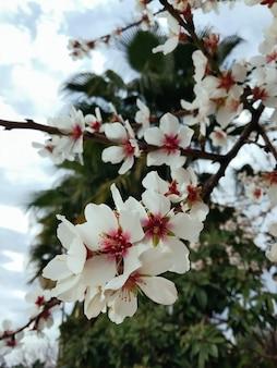 Ein blühender pfirsichbaum im garten, palmen im hintergrund. abendlicht im frühling. nahaufnahme einer niederlassung mit weißen blütenblumen