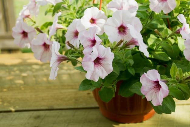 Ein blumenbeet aus weißen petunien (petunia grandiflora).