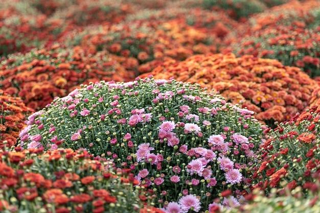 Ein blumenbeet mit blühenden chrysanthemen.