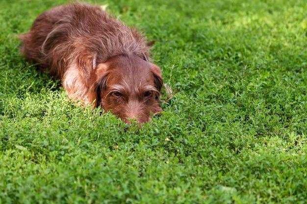 Ein brauner jagdhund der drathaar-rasse liegt fügsam auf dem grünen rasen