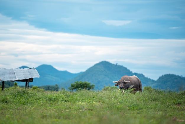 Ein büffel, der gras auf der wiese isst.