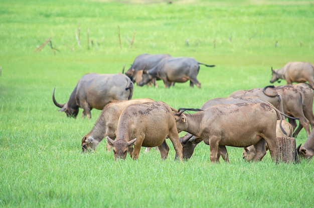 Ein büffel, der gras auf einer wiese isst.