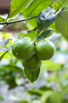 Ein bündel grüner limettenfrüchte, die auf dem baum innerhalb einer landwirtschaftlichen farm wachsen growing