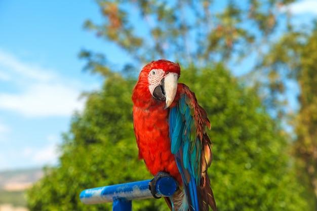 Ein buntes porträt eines macawpapageien, sitzend auf einer blauen stange. nahansicht