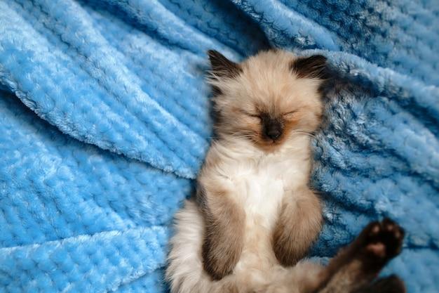 Ein burmesisches angora-kätzchen, das mit den hinterbeinen nach oben auf einer blauen baumwolldecke schläft. vertikales foto
