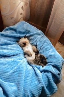 Ein burmesisches angora-kätzchen, das mit den hinterbeinen nach oben auf einer blauen baumwolldecke schläft