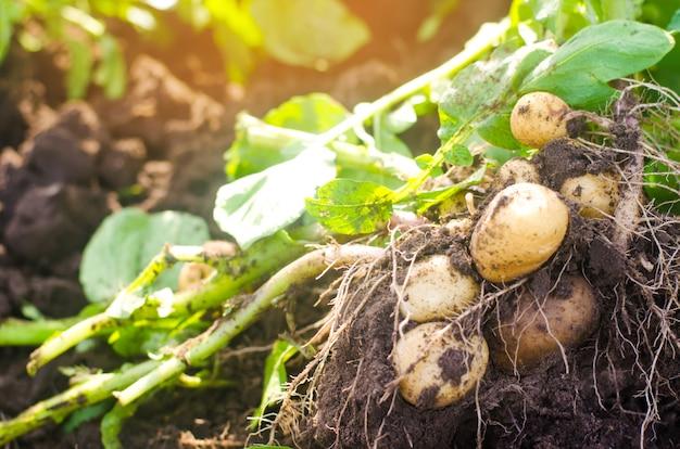 Ein busch junger gelber kartoffeln, ernte, frisches gemüse, agro-kultur, landwirtschaft, clos