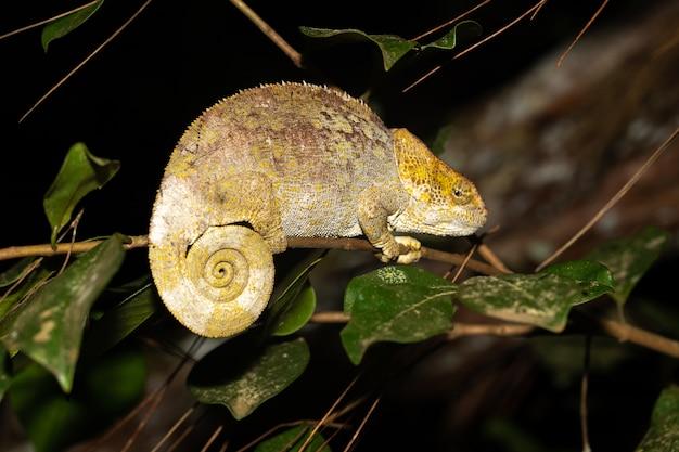 Ein chamäleon auf einem ast im regenwald madagaskars