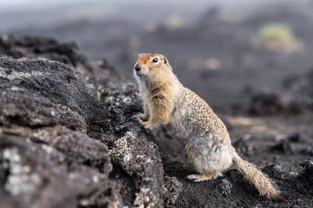 Ein charmantes grundeichhörnchen schaut in die kamera und lehnt sich an einen hügel