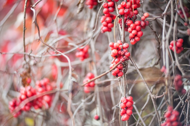 Ein cotoneaster busch mit vielen roten beeren auf zweigen, herbstlicher hintergrund. nahe bunte herbstliche wilde büsche der nahaufnahme mit roten beeren in der flachen schärfentiefe des parks.