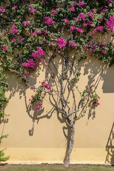 Ein dekorativer blumenbaum ziert die gelbe wand des gebäudes in bodrum, türkei. kletterpflanze, die um ein haus herum wächst und wandgebäude bedeckt