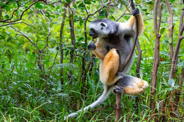 Ein diademierter sifaka in seiner natürlichen umgebung im regenwald auf der insel madagaskar
