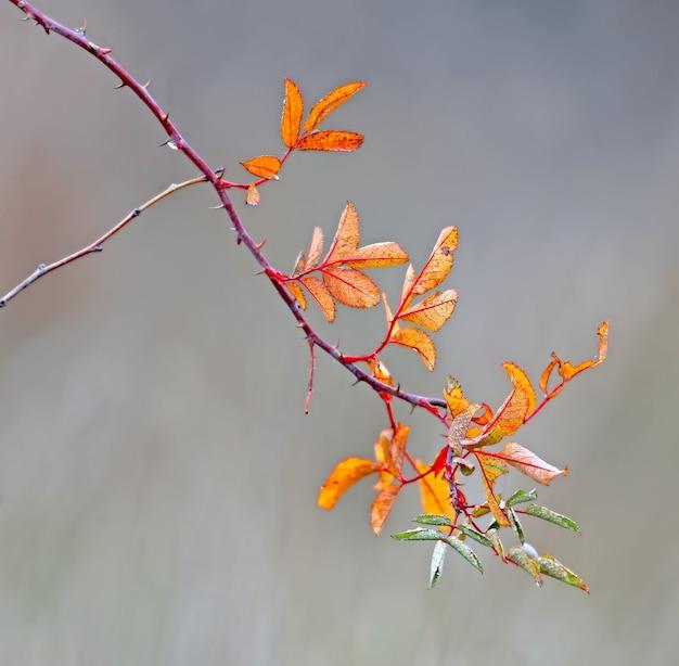 Ein dünner zweig einer wilden rose mit traurigen gelben blättern sieht dich an