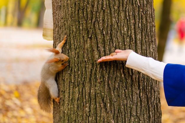 Ein eichhörnchen, das auf einem baumstamm sitzt, nimmt in einem herbstpark nüsse aus der hand einer person.