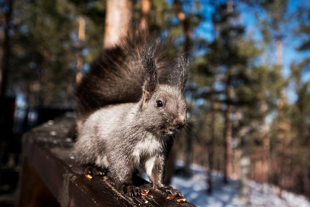 Ein eichhörnchen im wald aß nüsse und wurde wachsam