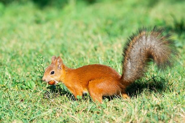 Ein eichhörnchen mit einer nuss