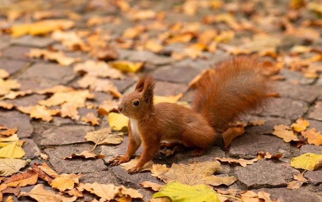 Ein eichhörnchen sitzt auf abgefallenen blättern und wartet auf walnuss. nahaufnahmeportrait