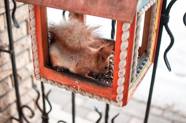 Ein eichhörnchen sitzt in einem futtertrog und isst nüsse. eichhörnchen in einem haus im winter im botanischen garten.