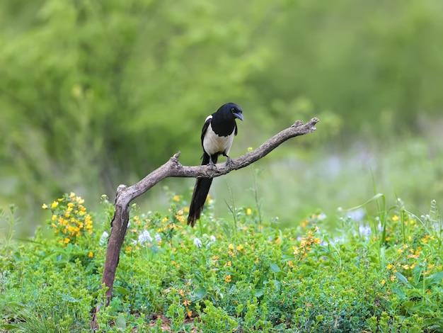 Ein einsamer elstervogel auf einem dicken ast