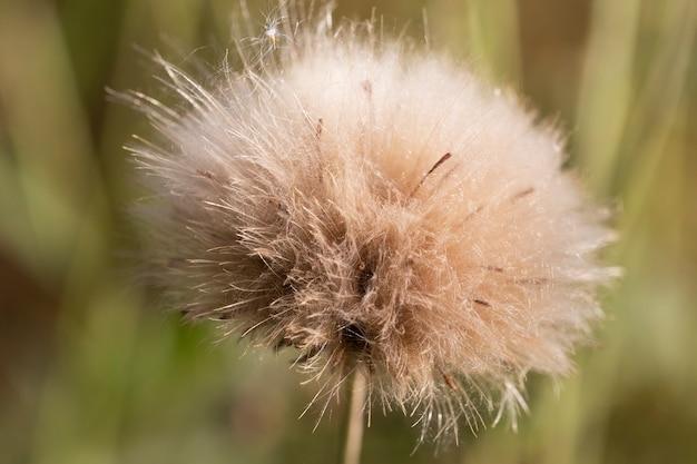 Ein einsamer flauschiger löwenzahn. herbstlöwenzahn auf einem verschwommenen grünen hintergrund. löwenzahn nach der blüte.