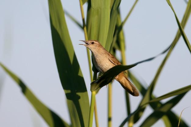 Ein einsamer savi-trällerer (locustella luscinioides) singt im sanften morgenlicht aus der nähe.
