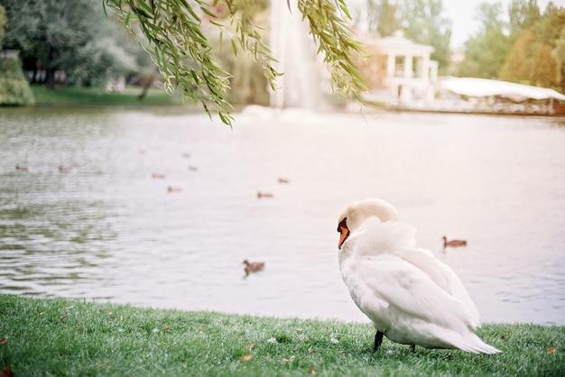 Ein einsamer weißer schwan reinigt mit seinem schnabel seine federn am see.