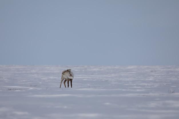 Ein einsames karibu, das im frühlingsschnee in der kanadischen arktis gefunden wurde