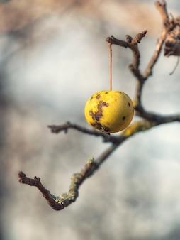 Ein einzelner schlechter apfel, der im frühen winter am baum hängt.
