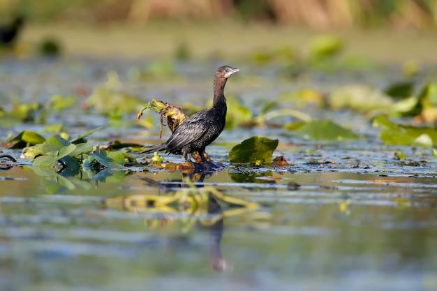 Ein einzelner zwergkormoran (microcarbo pygmaeus), der in weichem morgenlicht geschossen wurde, steht auf den blättern von wasserpflanzen