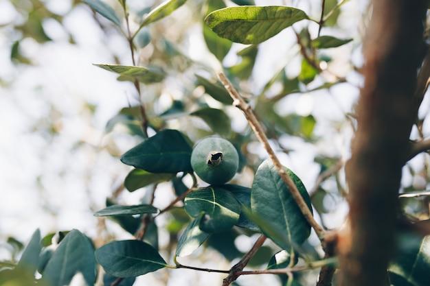 Ein einzelnes feijoa auf dem grünen zweig.