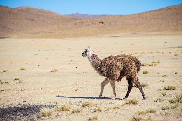 Ein einziges lama auf dem andenhochland in bolivien. erwachsenes tier, das in wüstenland galoppiert. seitenansicht.