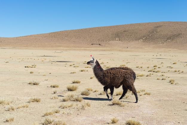 Ein einziges lama auf dem andenhochland in bolivien