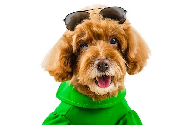 Ein entzückender brauner pudelhund, der grünes lässiges kleid mit sonnenbrille auf kopf trägt