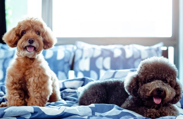 Ein entzückender glücklicher brauner und schwarzer pudelhund, der auf unordentlichem bett lächelt und sich entspannt