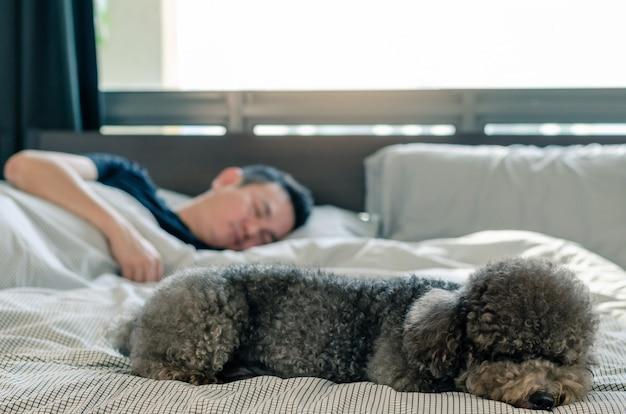 Ein entzückender junger schwarzer pudelhund, der auf bett mit dem inhaber schläft