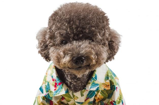Ein entzückender schwarzer pudelhund, der hawaiihemd trägt