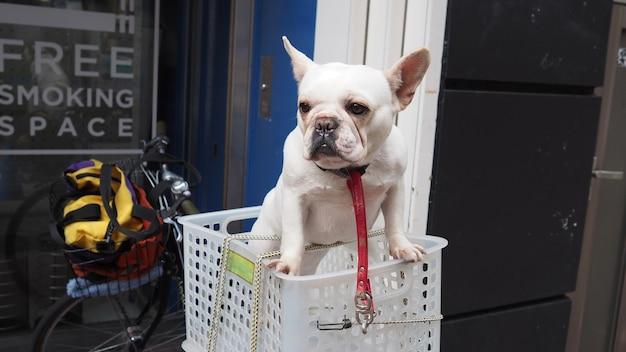 Ein entzückender weißer hund in einem korbkasten auf weinlesefahrrad am fußweg und in der stadt tokio und im sommer im freien in japan