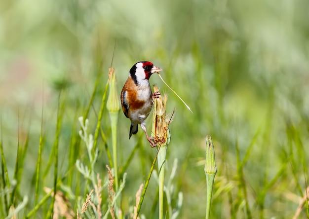 Ein erwachsener stieglitz sitzt im gras und hält einen dünnen grashalm im schnabel Premium Fotos